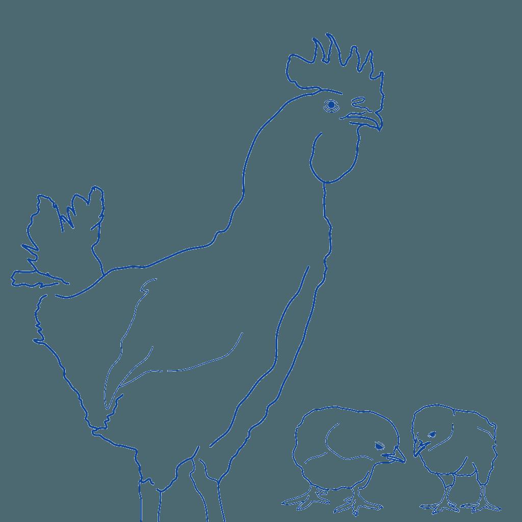 gallinas pollos control de clima